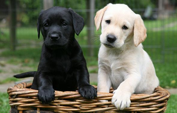 фото собаки лабрадор